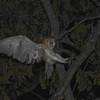 Barn Owl (Tyto alba) Green Castle Estate, Saint Mary Parish Jamaica