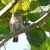 Cuban Pygmy Owl (Glaucidium siju) Vinales, Cuba