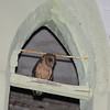 Lesser Antillean Barn Owl (Tyto alba insularis) Massacre church tower, Saint Paul Parish, Dominica