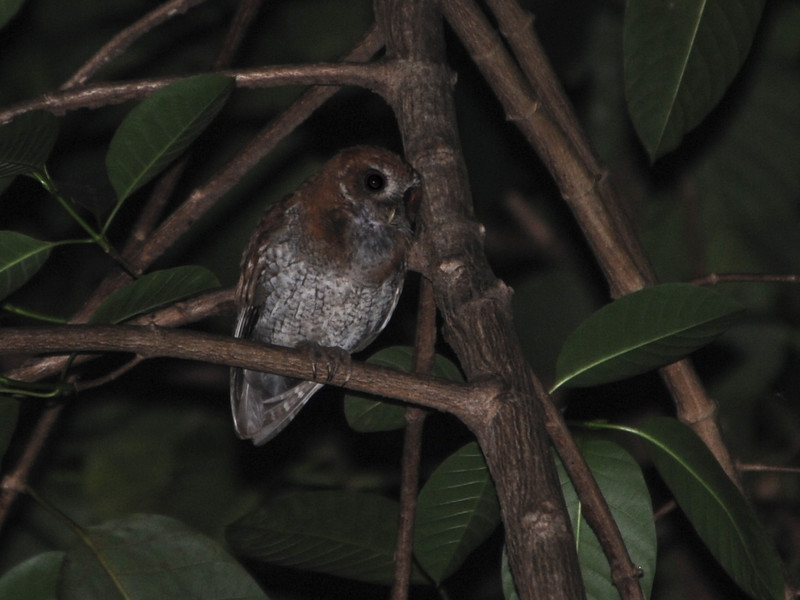 Puerto Rican Screech-Owl (Megascops nudipes) El Yunque National Forest, Puerto Rico