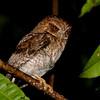Puerto Rican Screech-Owl (Megascops nudipes) Luquillo, Puerto Rico