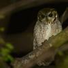 Balsas Screech-Owl (Megascops seductus) Microondas La Cumbre, Colima, Mexico