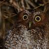 Bare-shanked Screech-Owl (Megascops clarkii) Volcan Irazu, Cartago, Costa Rica