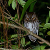 Bearded Screech-Owl (Megascops barbarus) San Christobal, Chiapas, Mexico