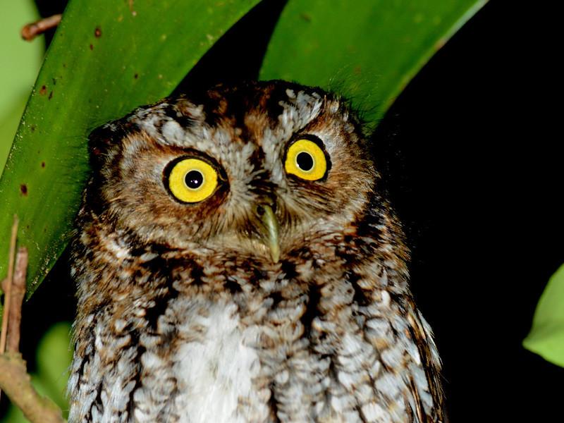 Bearded Screech-Owl (Megascops barbarus) San Christobal, Chiapas, Mexico
