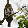 Cape Pygmy-Owl (Glaucidium-hoskinsii) Sierra La Laguna Biosphere Reserve, Baja California, Mexico
