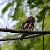 Central American Pygmy Owl (Glaucidium griseiceps) E.A.R.T.H., Limon, Costa Rica