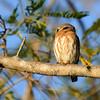 Colima Pygmy-Owl (Glaucidium palmarum) Microondas La Cumbre, Colima, Mexico