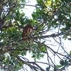 Costa Rican Pygmy-Owl (Glaucidium costaricanum) Savegre Mountain Lodge, San Jose, Costa Rica