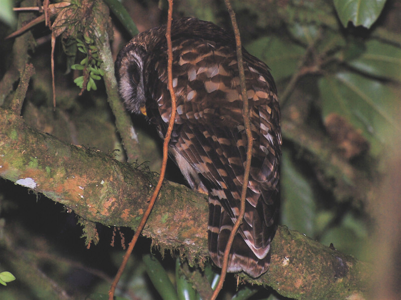 Fulvous Owl, (Strix fulvescens) Chelemha Cloud Forest Reserve, Guatemala