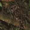Fulvous Owl (Strix fulvescens) Chelemha Reserve, Guatemala