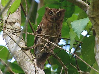 Guatemalan Screech Owl (Megascops guatemalae)