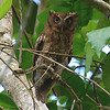 Guatemalan Screech Owl (Megascops guatemalae) Lancetillla Botanical Garden, Tela, Honduras