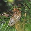 Guatemalan Screech Owl (Megascops guatemalae) Pico Bonito Lodge, La Ceiba, Honduras