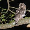 Mottled Owl (Ciccaba virgata) Lake Yajoa, Honduras