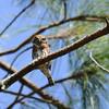 Mountain Pygmy-Owl (Glaucidium gnoma) Nevado de Colima, Jalisco, Mexico