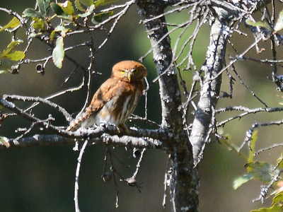 Mountain Pygmy-Owl (Glaucidium gnoma)