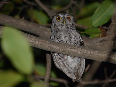 Pacific Screech Owl (Megascops cooperi)