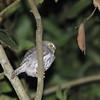 Lake Yajoa, HondurasRidgeway's (Ferruginous) Pygmy-Owl (Glaucidium brasilianum ridgwayi) Lake Yajoa, Honduras