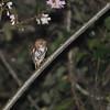 Ridgeway's (Ferruginous) Pygmy-Owl (Glaucidium brasilianum ridgwayi) Lake Yajoa, Honduras