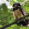 Spectacled Owl (Pulsatrix perspicillata) La Union, Limon, Costa Rica