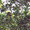 Spectacled Owl (Pulsatrix perspicillata) Barro Santiago, El Salvador