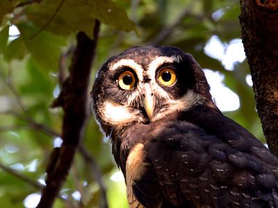 Spectacled Owl (Pulsatrix perspicillata)