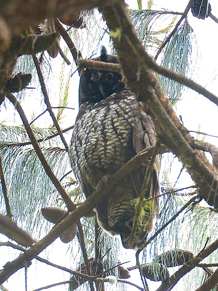 Stygian Owl (Asio stygius) El Cielo Biosphere Reserve, Tamaulipas, Mexico