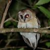 Unspotted Saw-whet Owl (Aegolius ridgwayi) San Christobal, Chiapas, Mexico