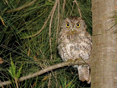Whiskered Screech-Owl (Megascops trichopsis)