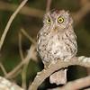Whiskered Screech-Owl (Megascops trichopsis) University of Honduras campus, Tegucigalpa Honduras