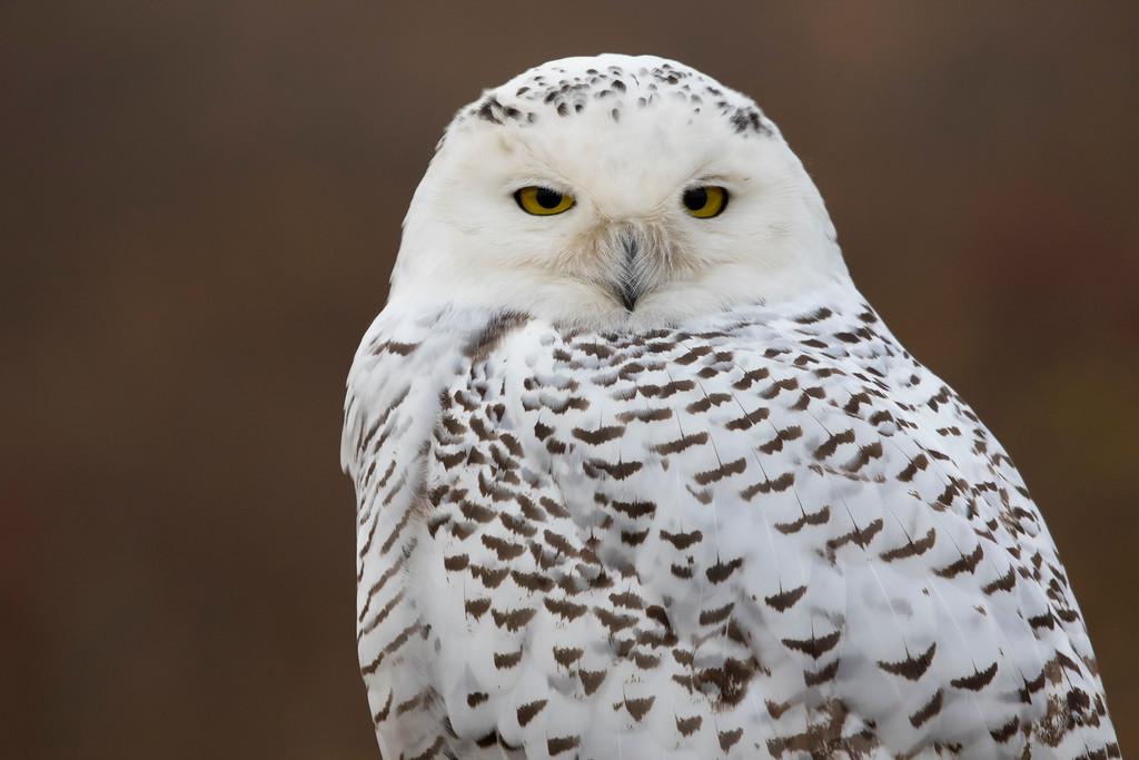Crex snowy owl 3 (10-2015)