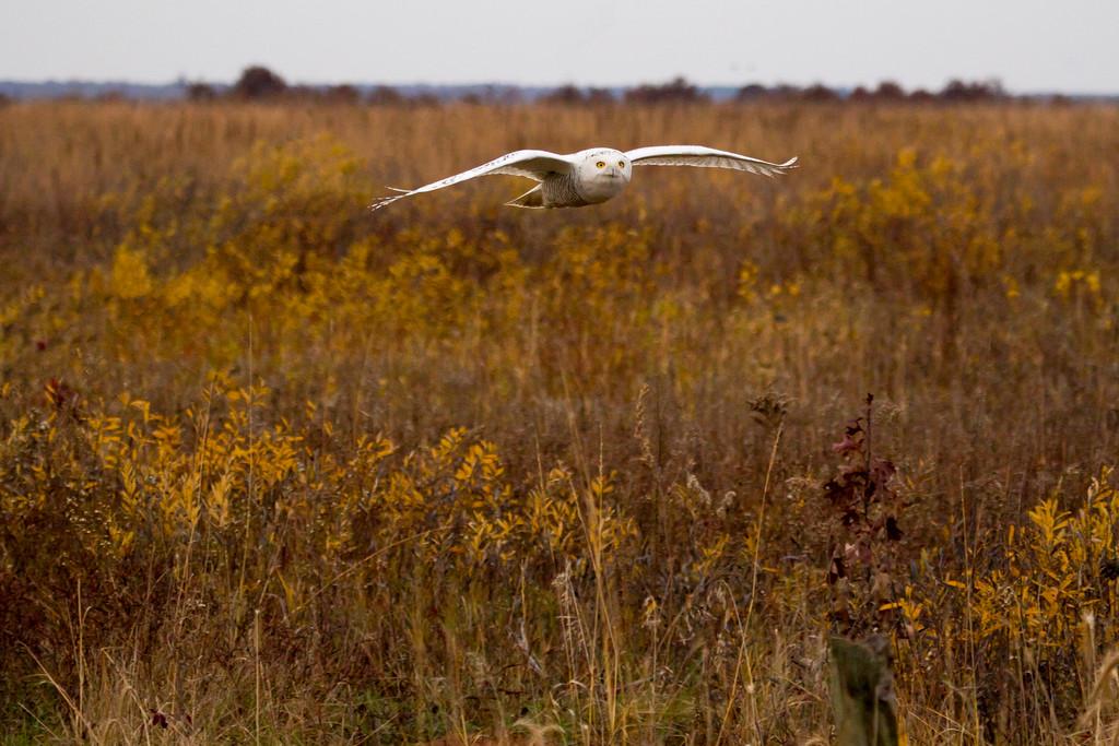 Crex snowy owl 9 (10-2015)