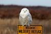Crex snowy owl 32 (10-2015)