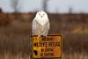 Crex snowy owl 34 (10-2015)