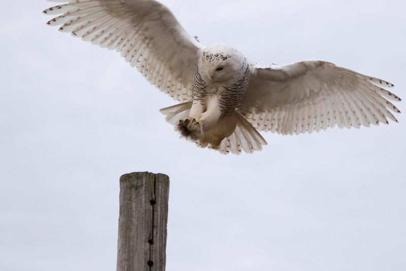 Crex snowy owl 10 (10-2015)