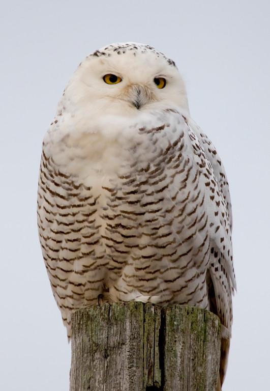 Crex snowy owl 14 (10-2015)
