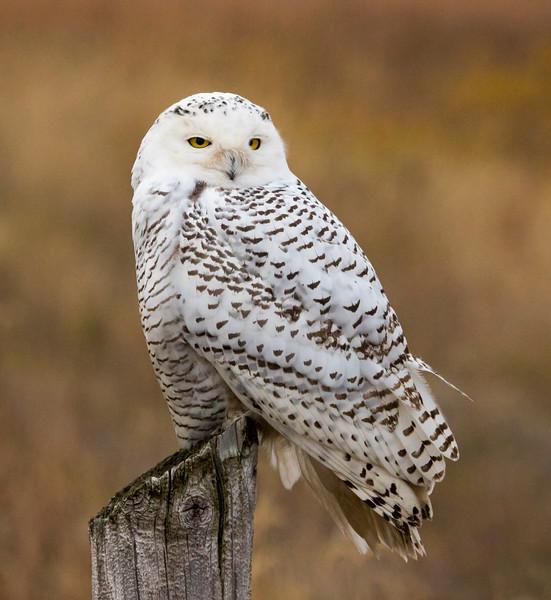 Crex snowy owl 2 (10-2015)