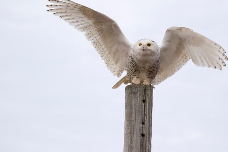 Crex snowy owl 11 (10-2015)