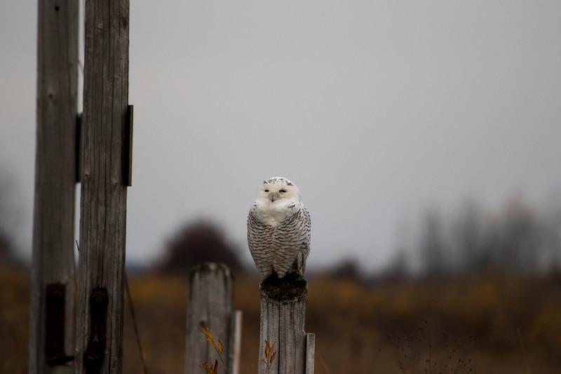 Crex snowy owl 17 (10-2015)