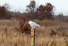 Crex snowy owl 35 (10-2015)