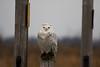Crex snowy owl 18 (10-2015)