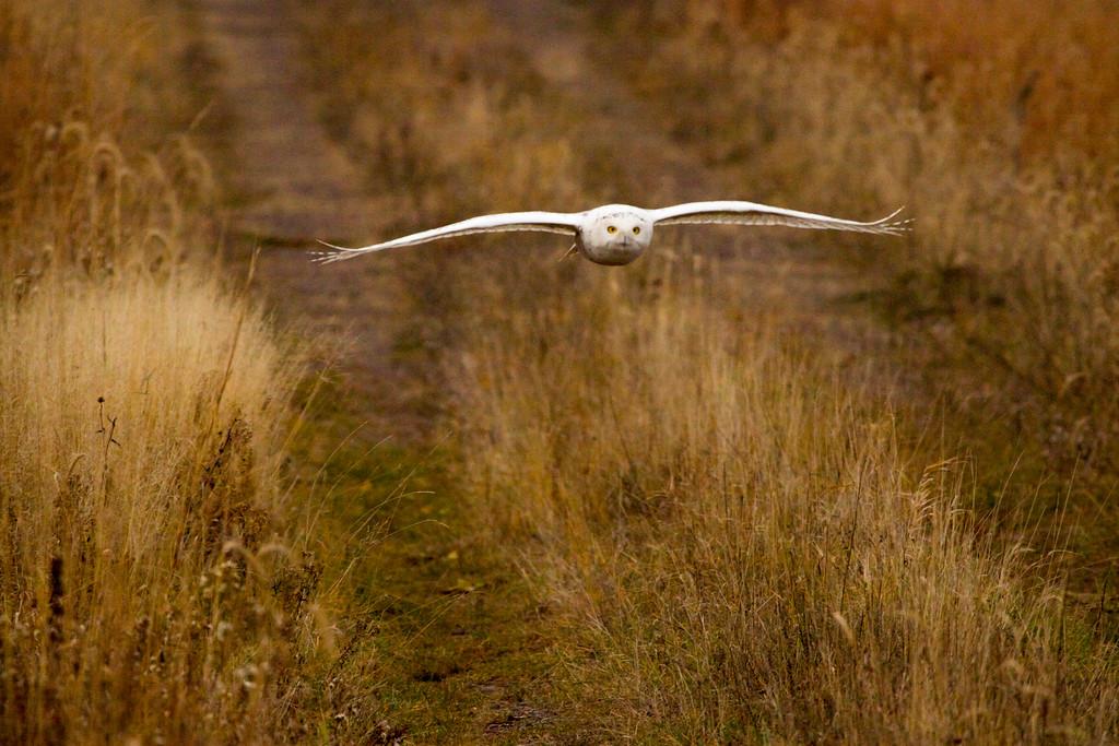 Crex snowy owl 4 (10-2015)