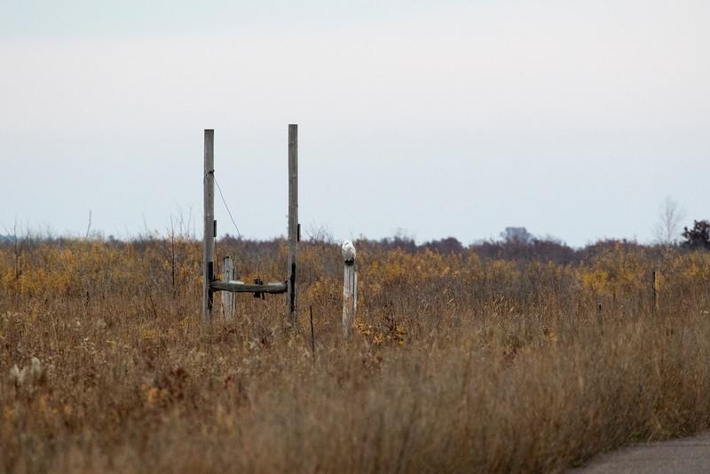 Crex snowy owl 15 (10-2015)