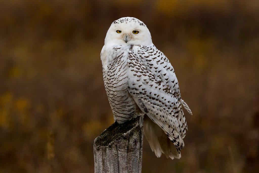 Crex snowy owl 22 (10-2015)