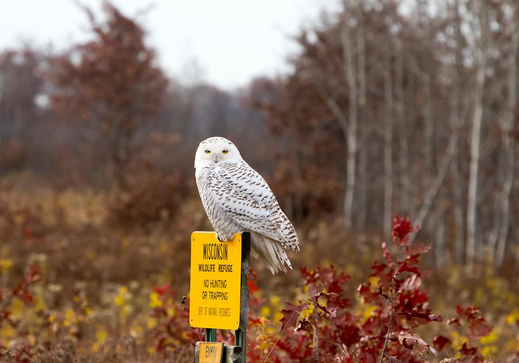 Crex snowy owl 36 (10-2015)