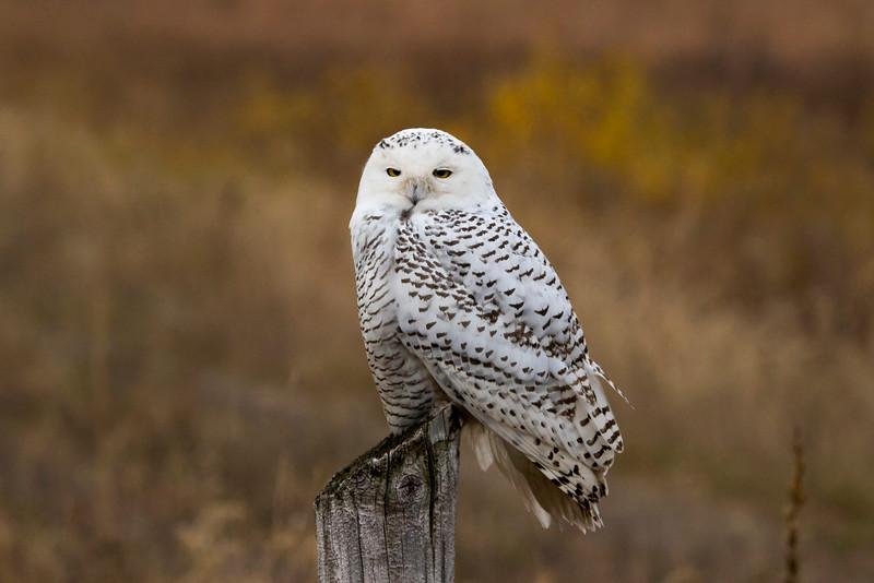 Crex snowy owl 1 (10-2015)