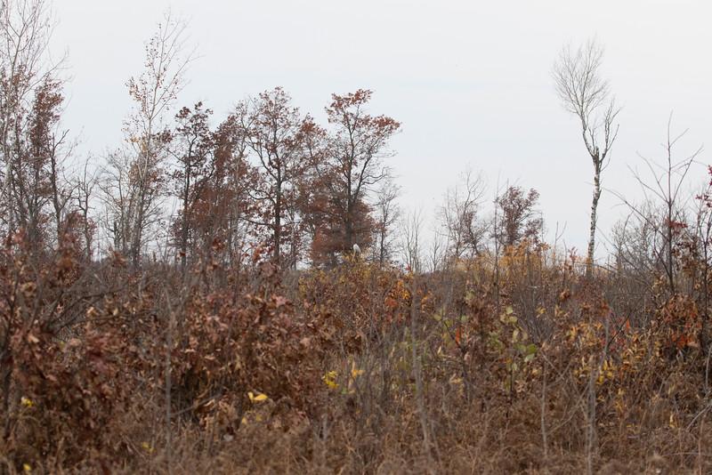 Crex snowy owl 37 (10-2015)