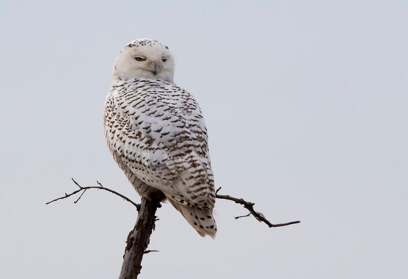 Crex snowy owl 28 (10-2015)