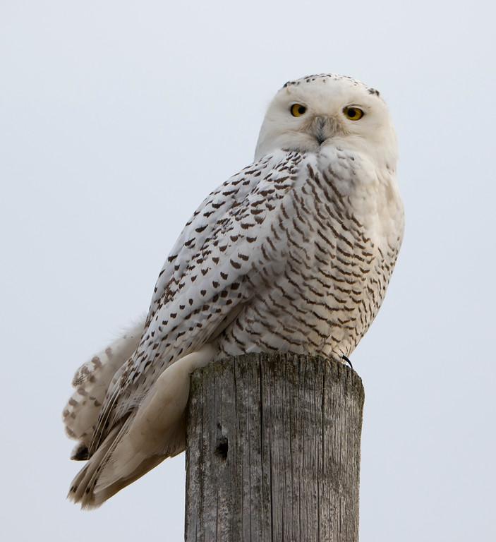 Crex snowy owl 21 (10-2015)